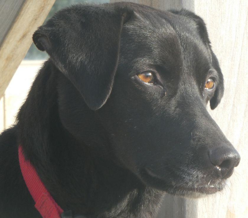 Photos Vivastreet Croisé labrador femelle 5 ans, stérélisée.