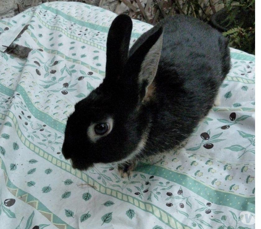 Photos Vivastreet Jeunes lapins de compagnie.