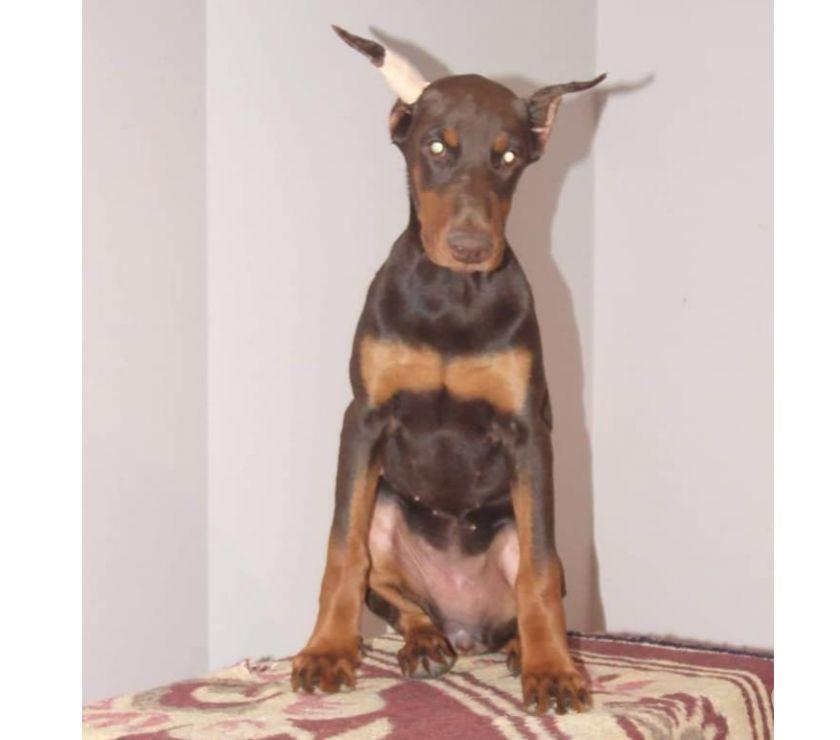 Photos Vivastreet Chiot Doberman avec oreilles et queue coupé