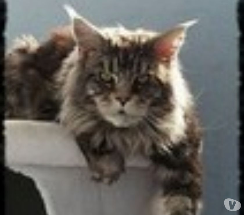 Photos Vivastreet Male maine coon disponible pour saillie