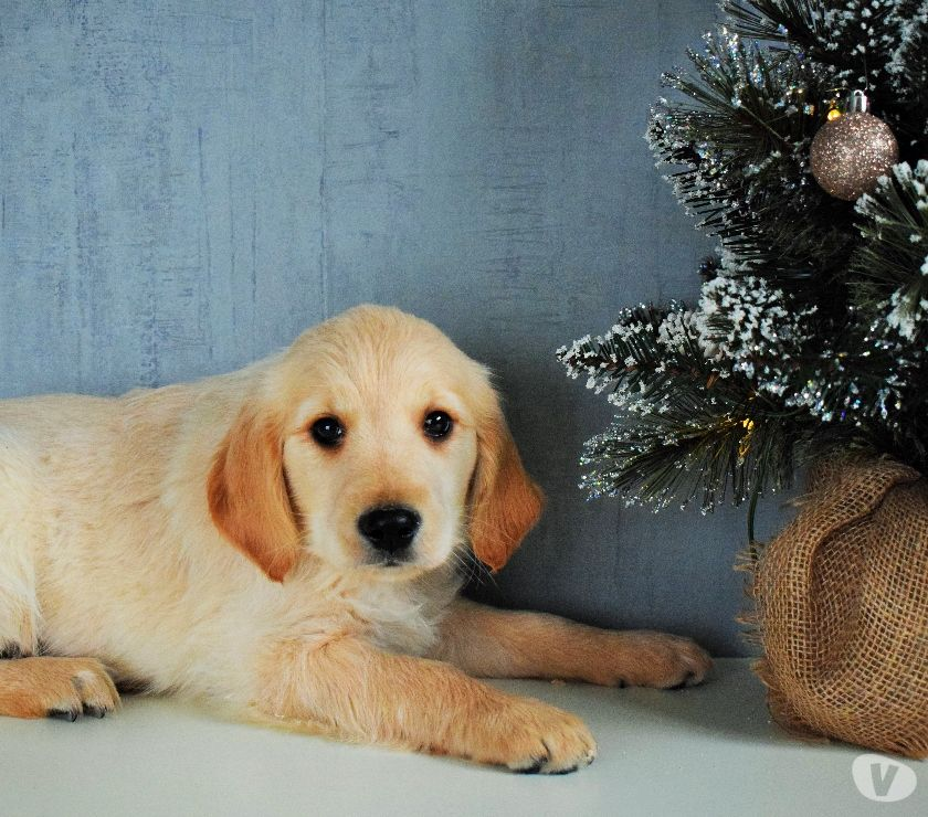 Photos Vivastreet Chiots Golden Retriever