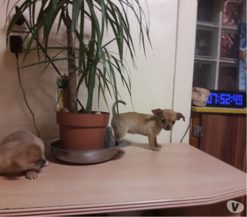 Photos Vivastreet 2femelle chiots chihuahua