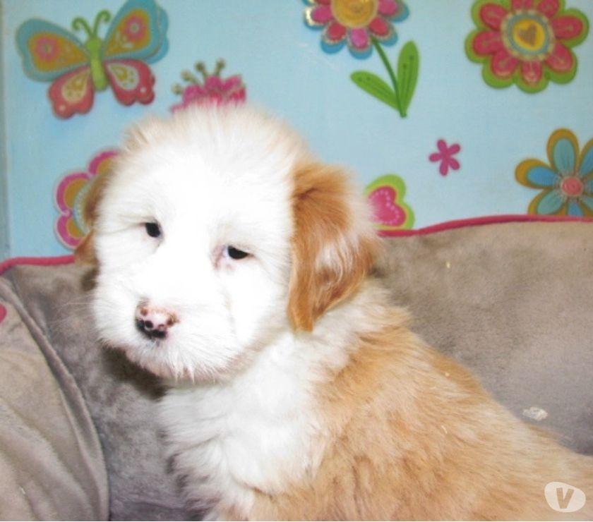 Photos Vivastreet Chiots Terrier Tibetain