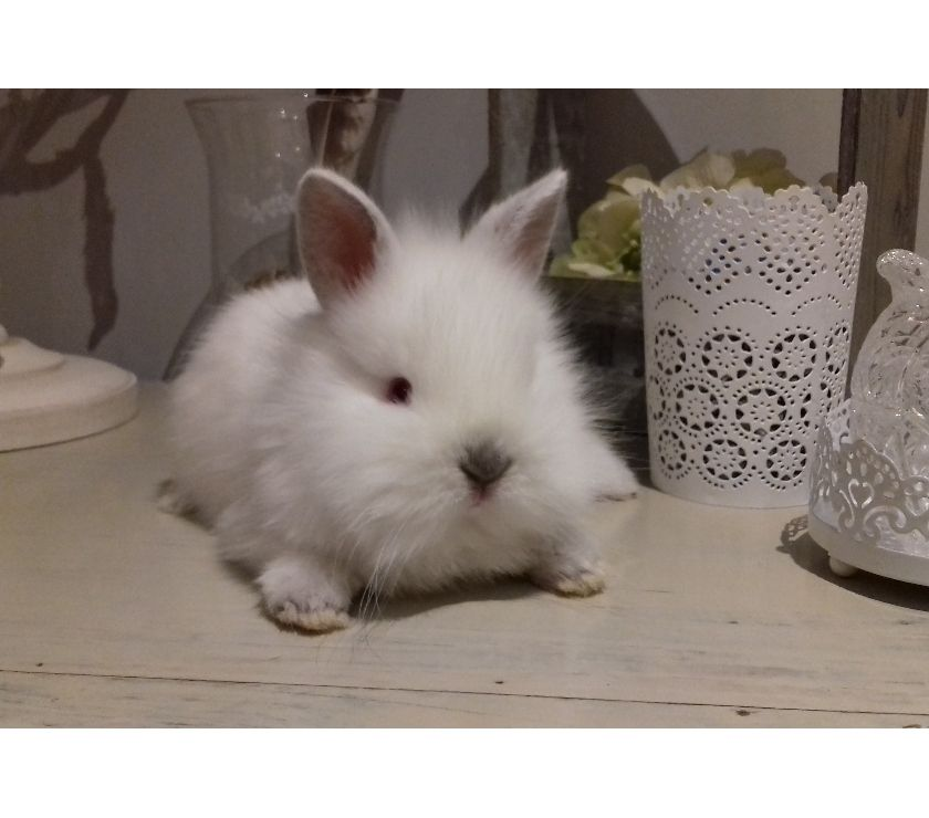 Photos Vivastreet Jeunes lapins nains