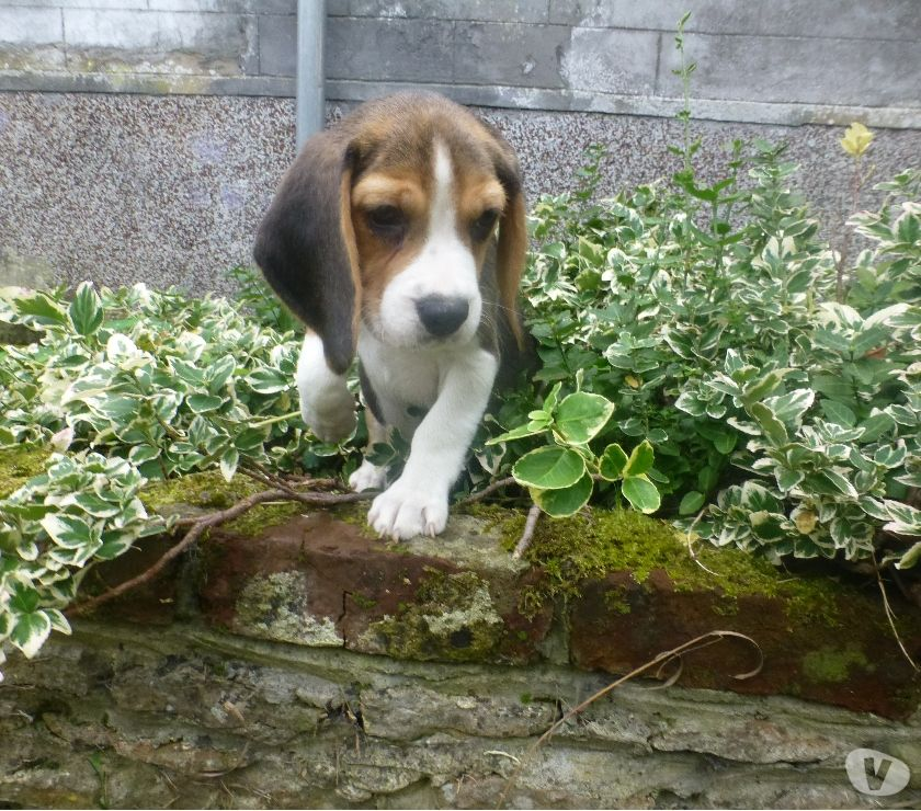 Photos Vivastreet adorable beagle femelle