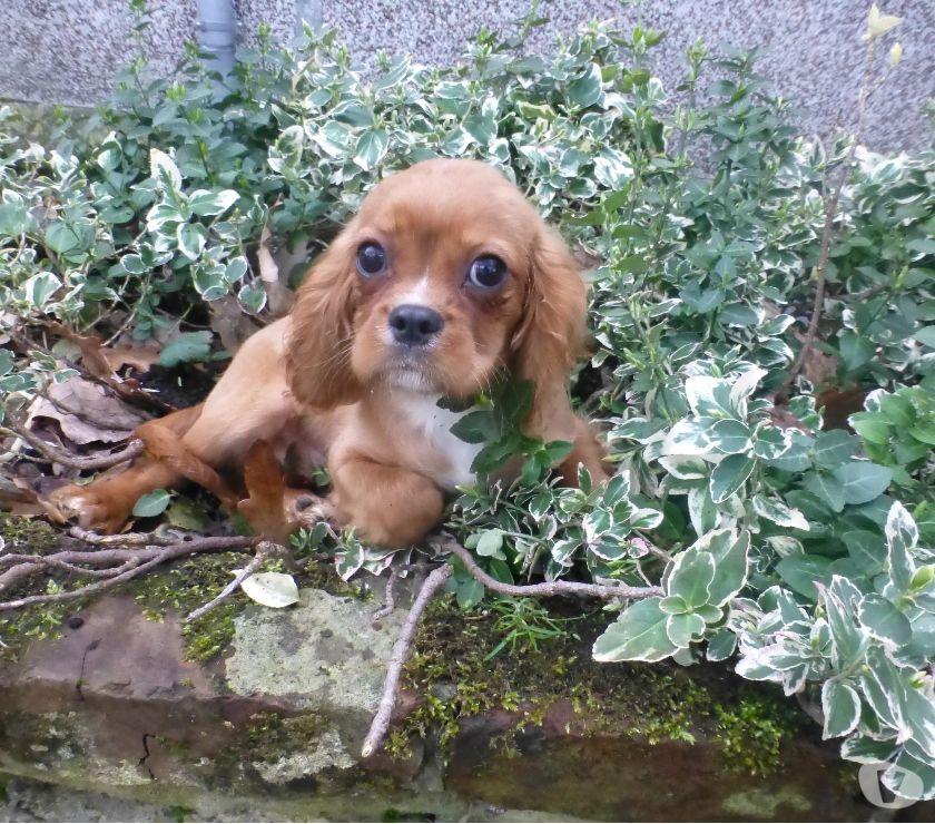 Photos Vivastreet adorable cavalier king charles male