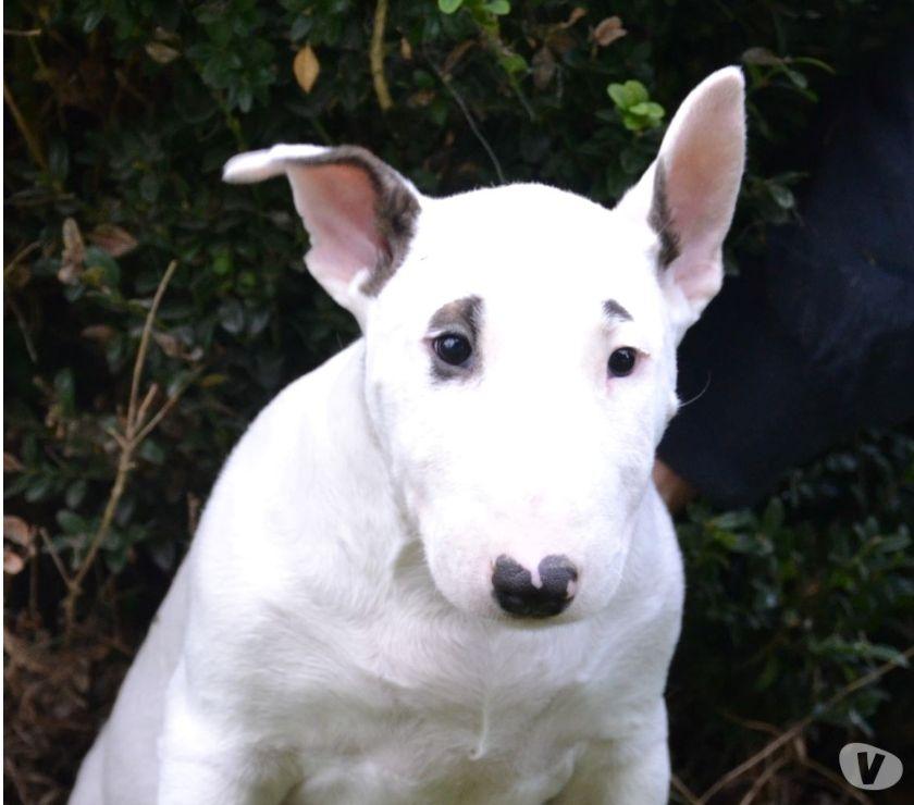 Photos Vivastreet Bull terrier
