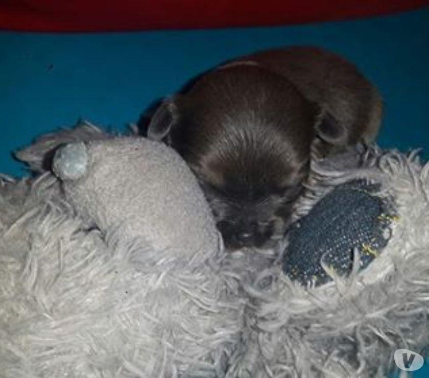 Photos Vivastreet Chihuahuas