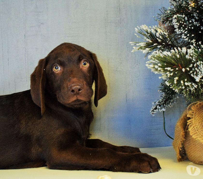 Photos Vivastreet Chiots Labrador Blond & Chocolat
