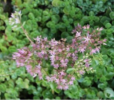 Photos Vivastreet Plantes =couvre sol = Sébum (fleurs rose.)+ autre(jaunes)