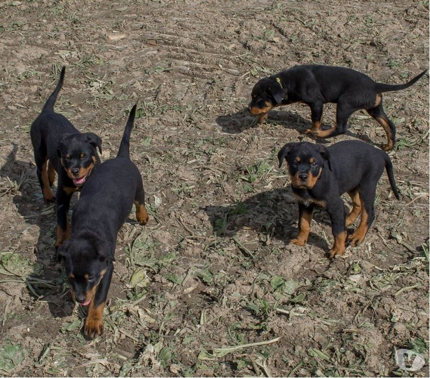 Photos Vivastreet Chiots Rottweiler parents multichampions
