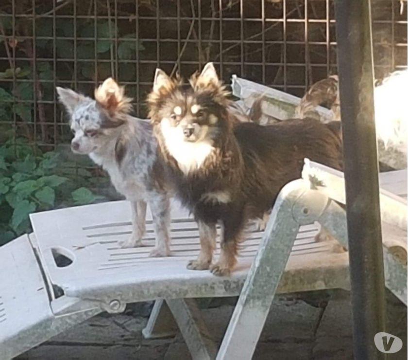 Photos Vivastreet Chihuahua mâle bleu et tan long poils...