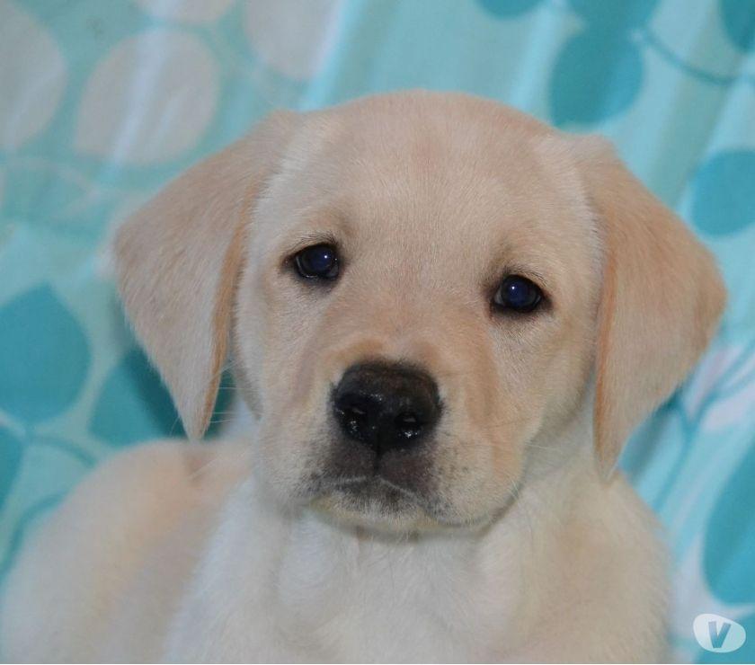 Photos Vivastreet Labrador blond