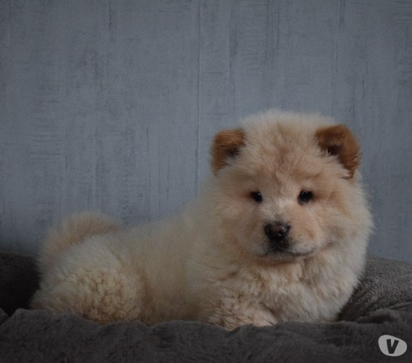 Photos Vivastreet Chiot chow chow