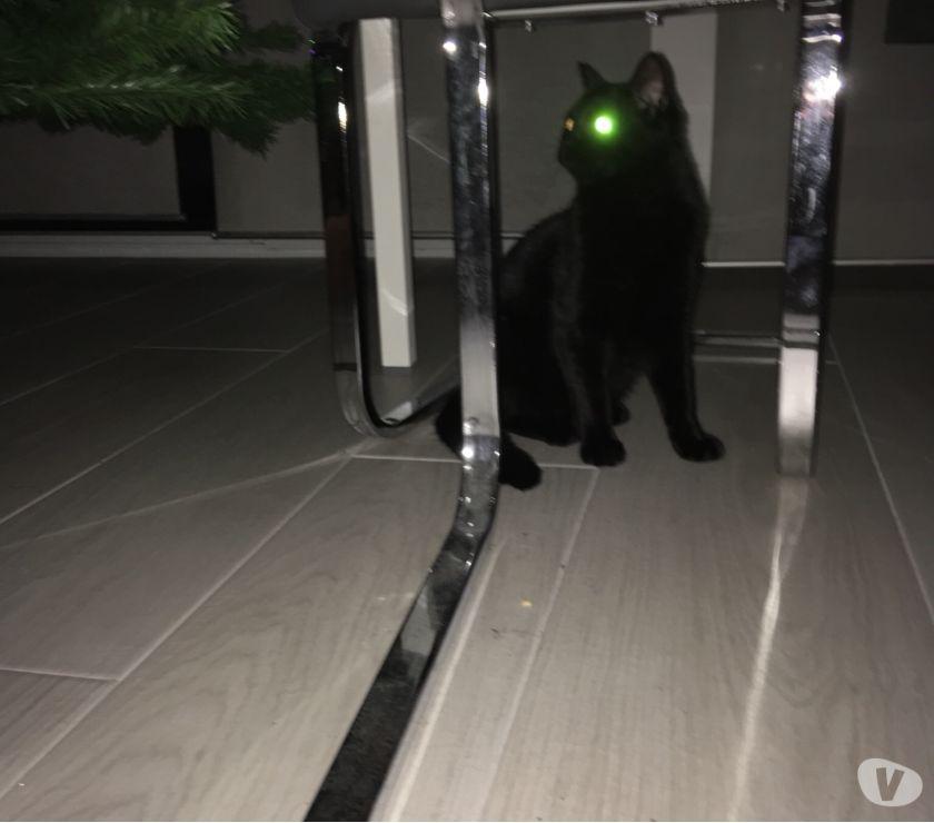 Photos Vivastreet Chat noir trouvé