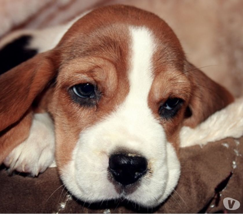 Photos Vivastreet Chiots Beagle
