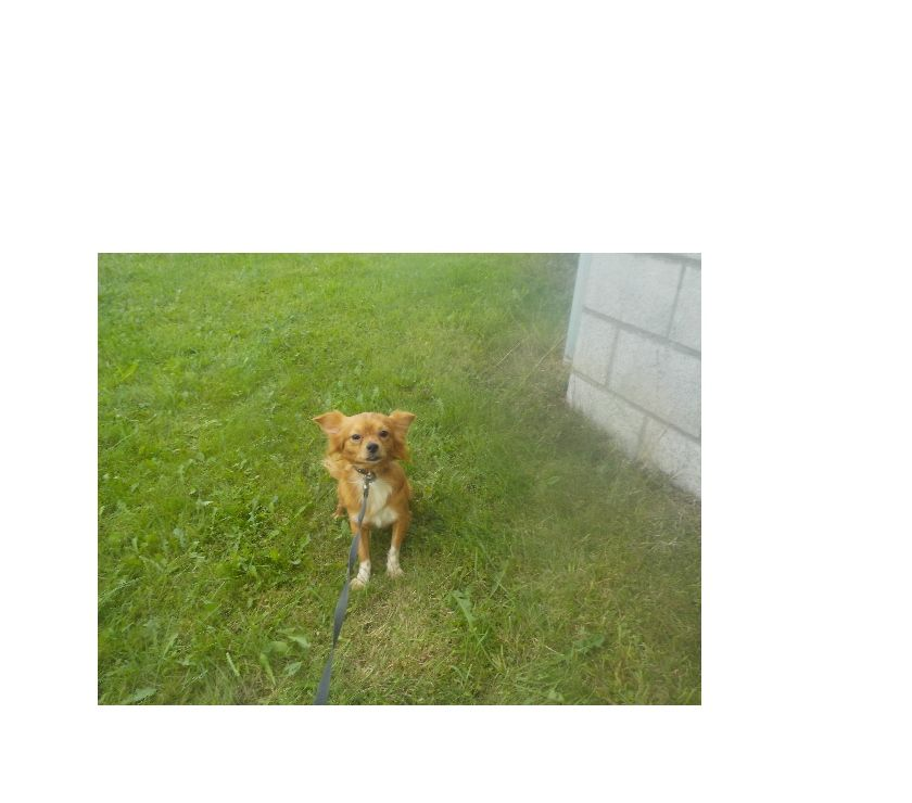 Photos Vivastreet chihuahua male de 18 mois