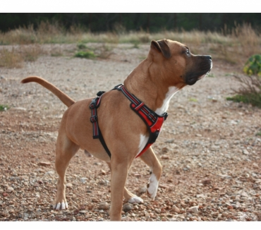 Photos Vivastreet Saillie American Staffordshire Terrier avec bon pedrigree