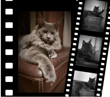 Photos Vivastreet Maine Coon Sailiie