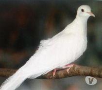 Photos Vivastreet colombe