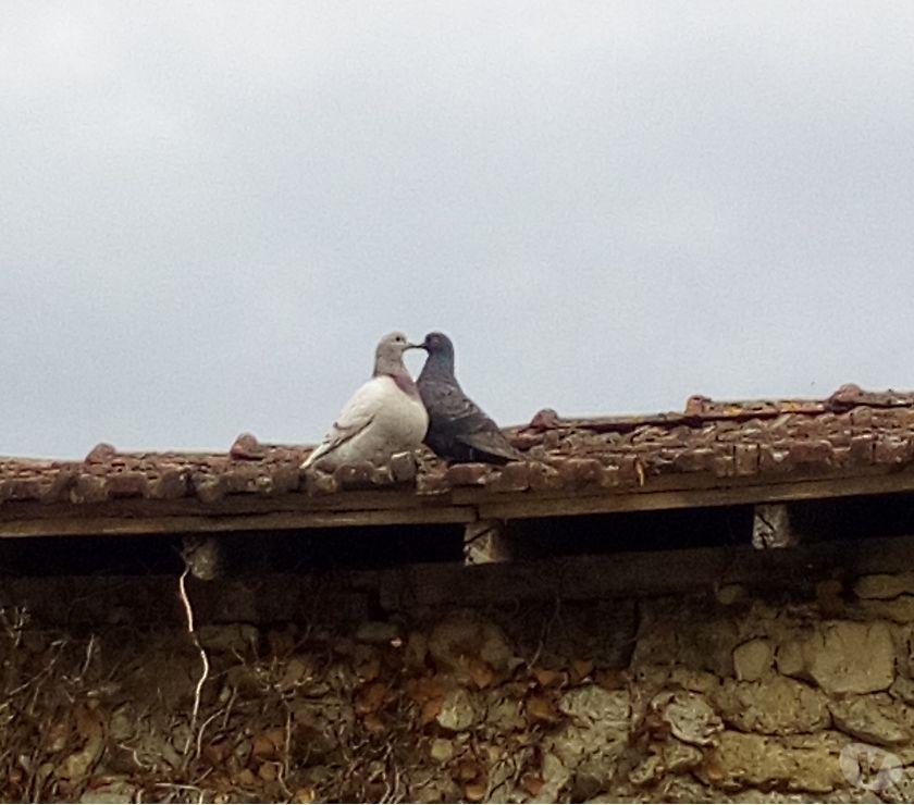 Vente Dordogne Le Lardin St Lazare - 24570 - Photos Vivastreet Pigeons texans reproducteurs