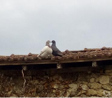 Photos Vivastreet Pigeons texans reproducteurs