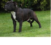 Photos Vivastreet Staffordshire bull terrier disponible pour saillie