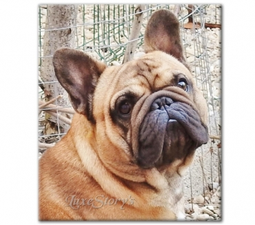 Photos Vivastreet Saillie Bouledogue Français Lof