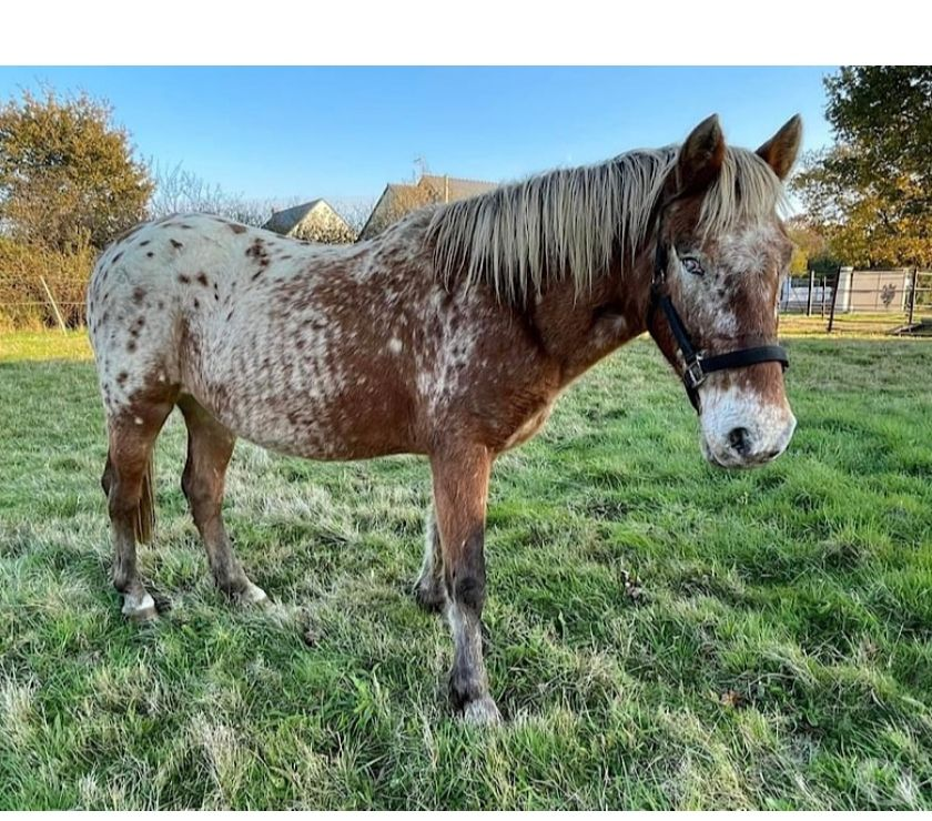 Don animaux Loire-Atlantique Herbignac - Photos Vivastreet KAJOLINE, jolie jument Appaloosa à l'adoption