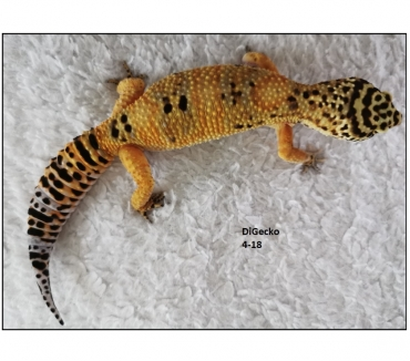 Photos Vivastreet Geckos Léopards de 2018 et 2013