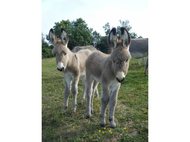 Photos Vivastreet Vends ânes - anesses