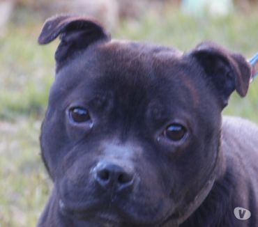 Photos Vivastreet Staffordshire bull terrier LOF disponible pour saillie