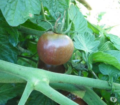 Photos Vivastreet graines de tomates Black Cherry