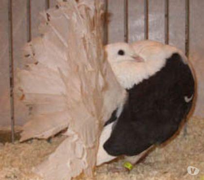 Photos Vivastreet pigeon fantail a manteau