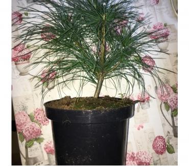 Photos Vivastreet Offre: Pinus Sosna Wallichiana - Pin de l'Himalaya