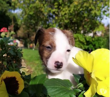 Photos Vivastreet A RESERVER magnifiques chiots PARSON RUSSELL JACK RUSSELL