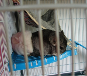Photos Vivastreet Couple de Chinchillas Blanc et Gris