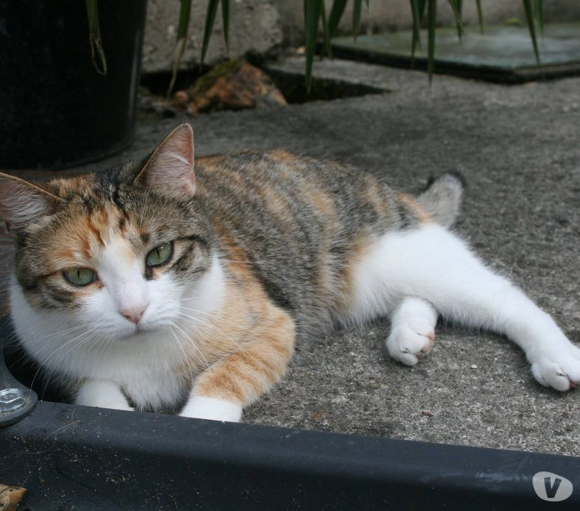 Photos Vivastreet A adopter KAILA chatte tricolore don