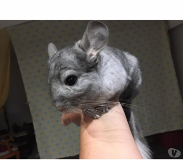 Photos Vivastreet PITCHU, magnifique chinchilla mosaïque à l'adoption
