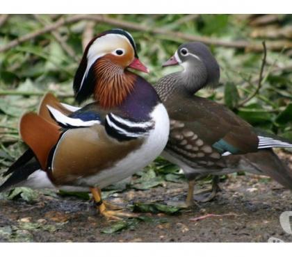 Photos Vivastreet oeufs à couver de canards mandarin ou carolin