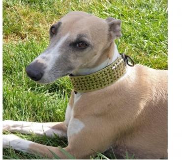 Photos Vivastreet Collier sur mesure pour lévrier ou toute autre race de chien