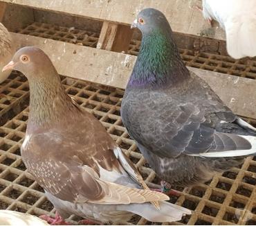 Photos Vivastreet Pigeons de chair Hubbels haut rendement
