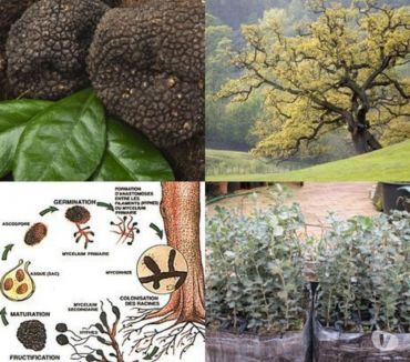 Photos Vivastreet 10 plants truffier pour 59 euros