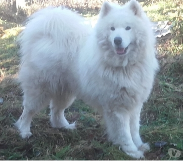 Photos Vivastreet saillie samoyede