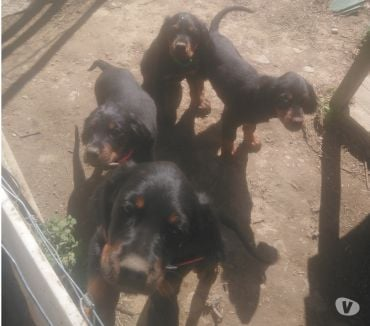 Photos Vivastreet vend adorables chiots setter Gordon LOF
