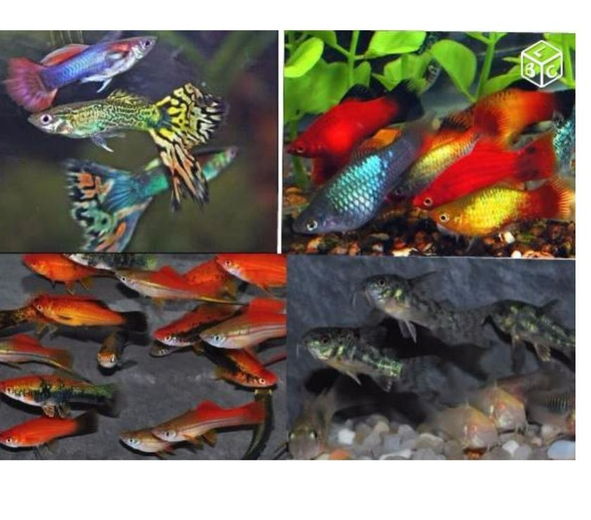 Poisson aquarium guppy molly crevettes achat vente for Vente aquarium poisson