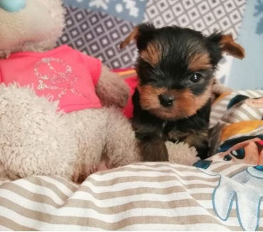 Photos Vivastreet A vendre chiots yorkshires Terrier lof
