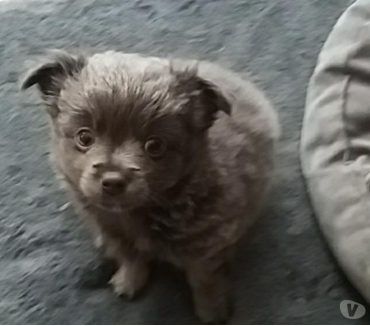 Photos Vivastreet Chihuahua Chiot a vendre