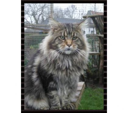 Photos Vivastreet propose male maine coon LOOF pour saillie gros gabarit