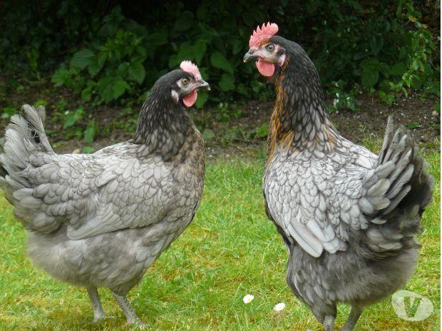 poule marans coucou grise